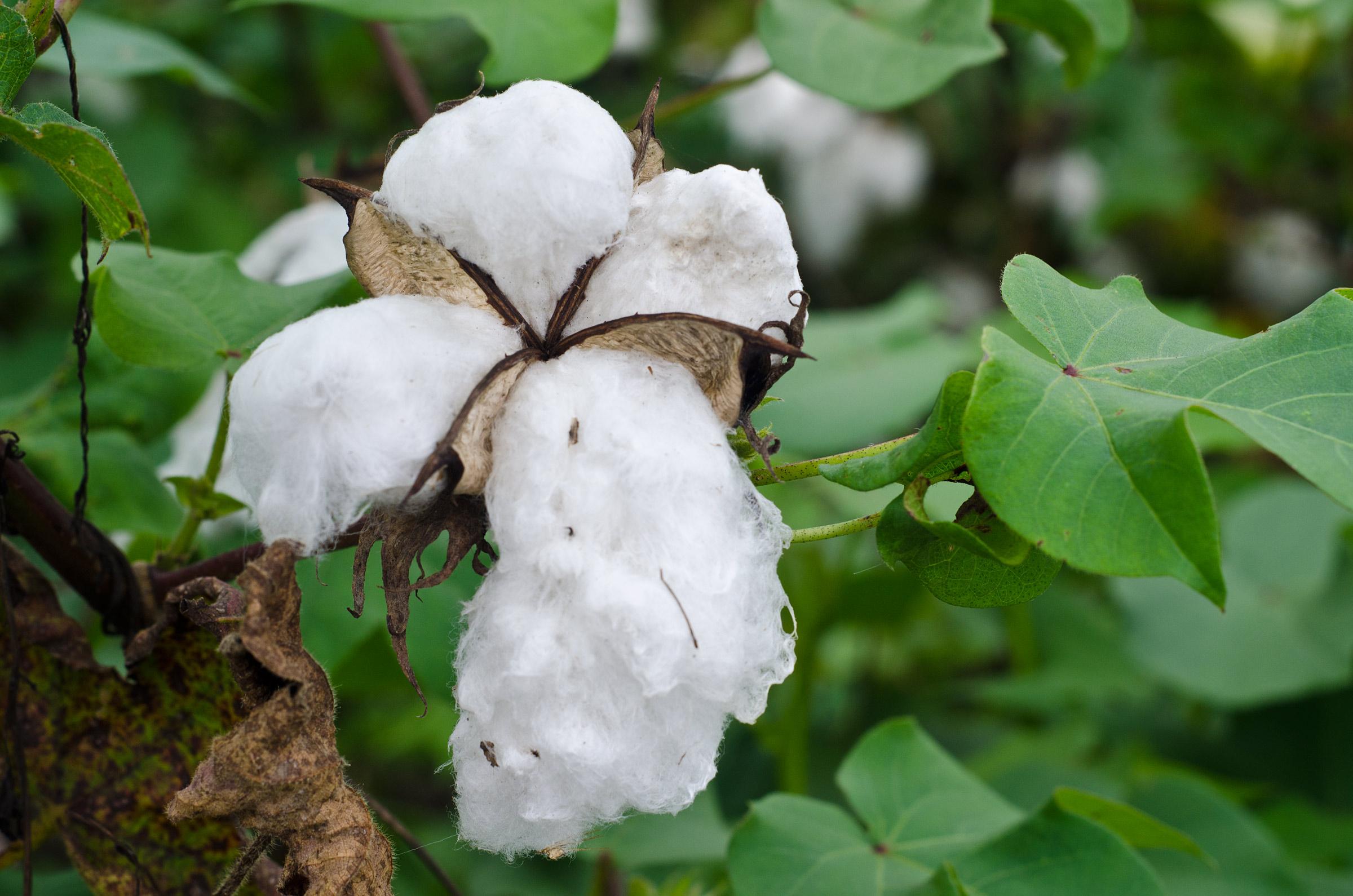 Communiqué relatif à l'exportation des produits du coton au titre de la campagne 2017