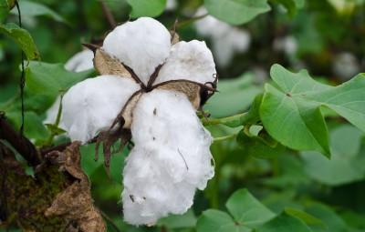 coton-bio1.jpg
