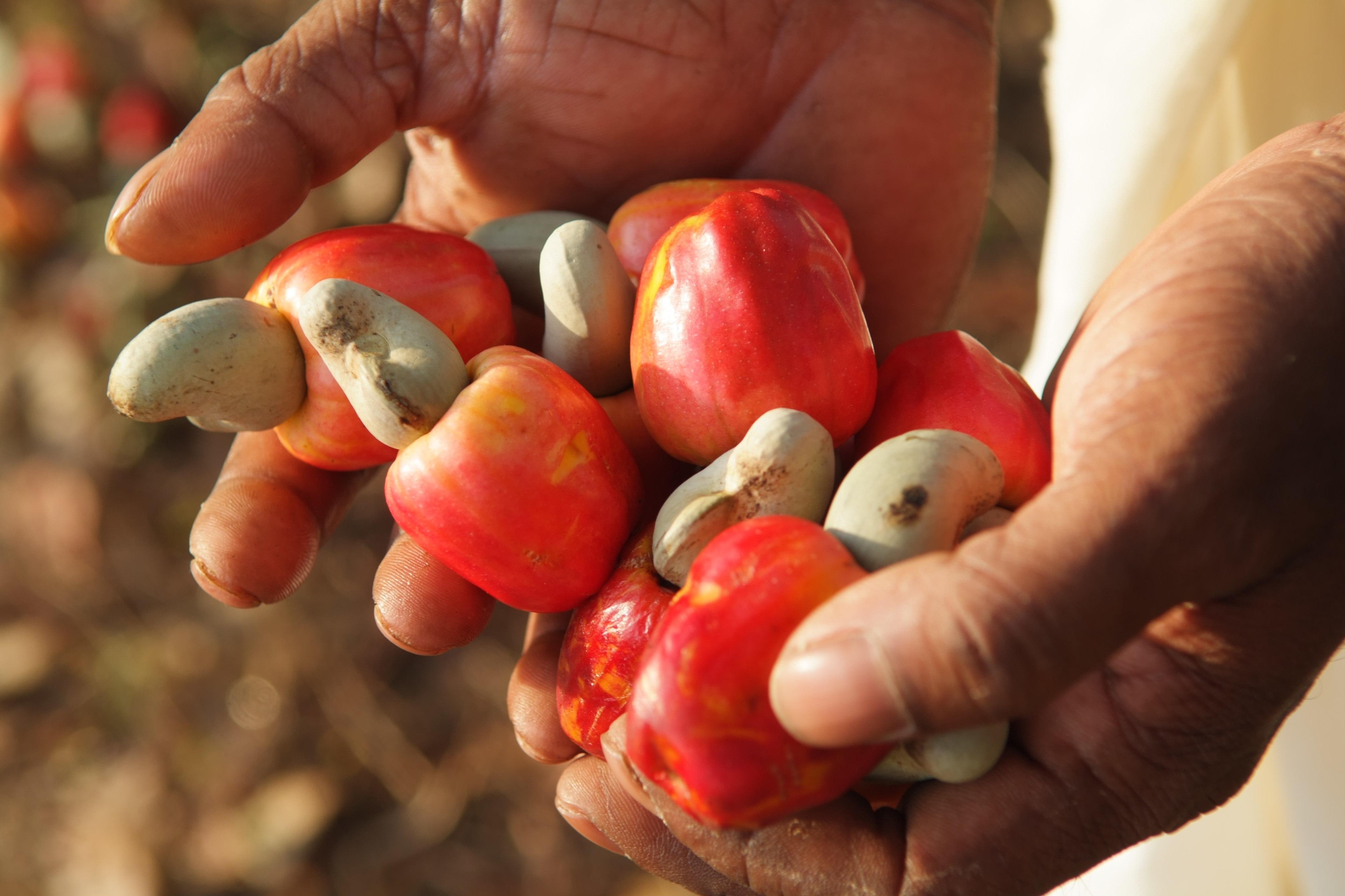 Amélioration de la production de l'anacarde: 355 encadreurs outillés pour aider les producteurs
