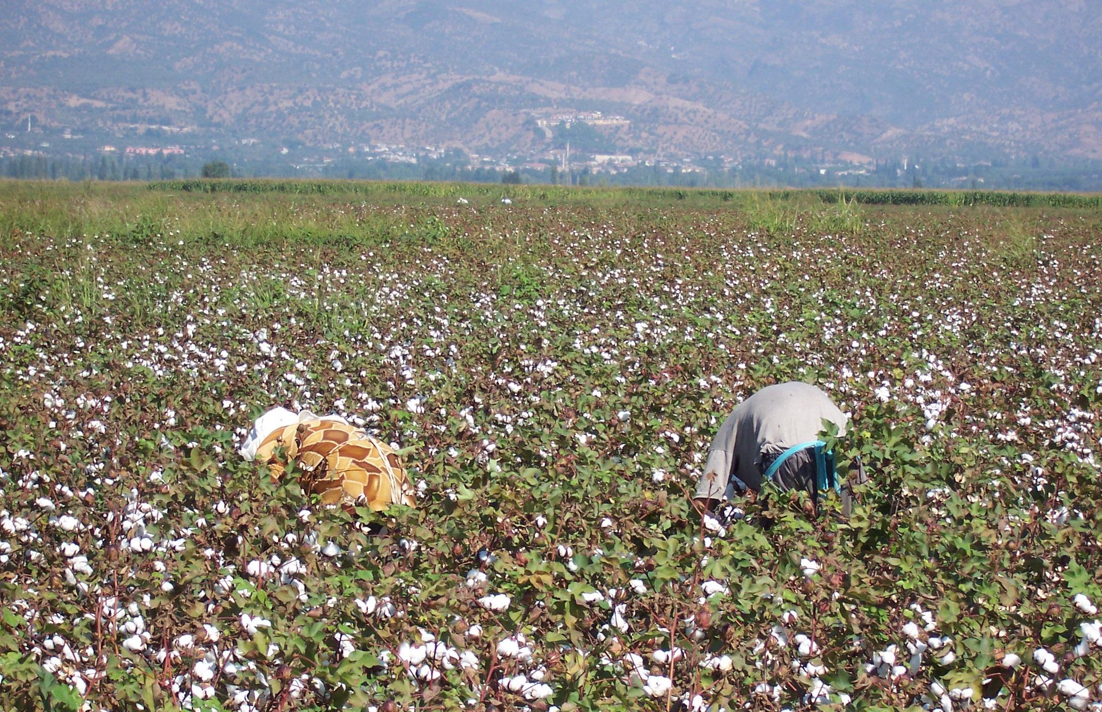 Généralités sur la culture du coton et ses utilisations